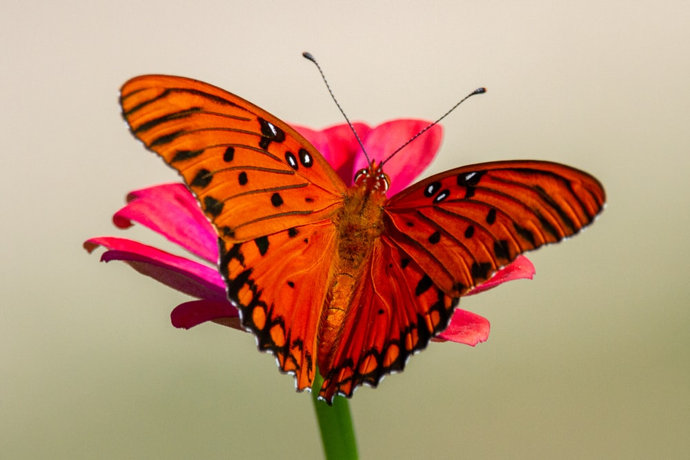 brown and black butterfly on pink flower