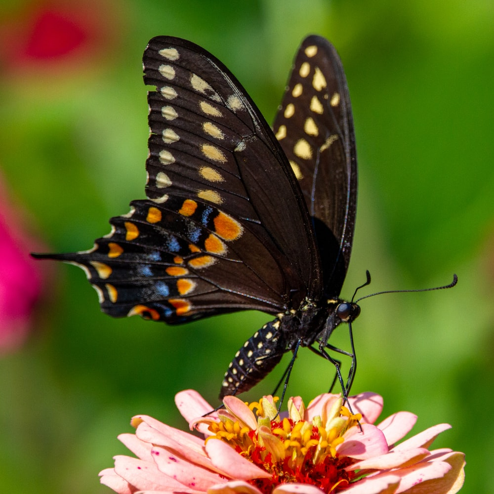 black and white butterfly on yellow and pink flower