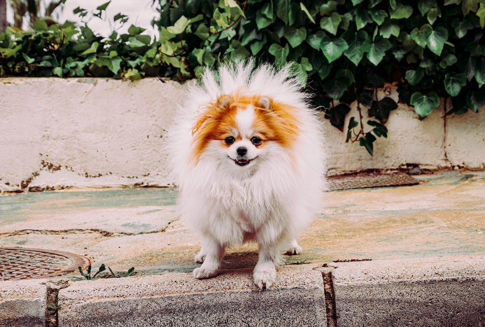 white and brown pomeranian puppy on gray concrete floor during daytime