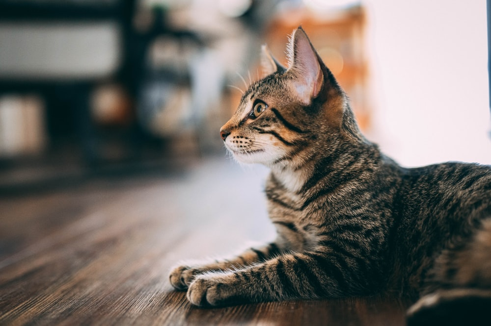brown tabby cat on brown wooden table