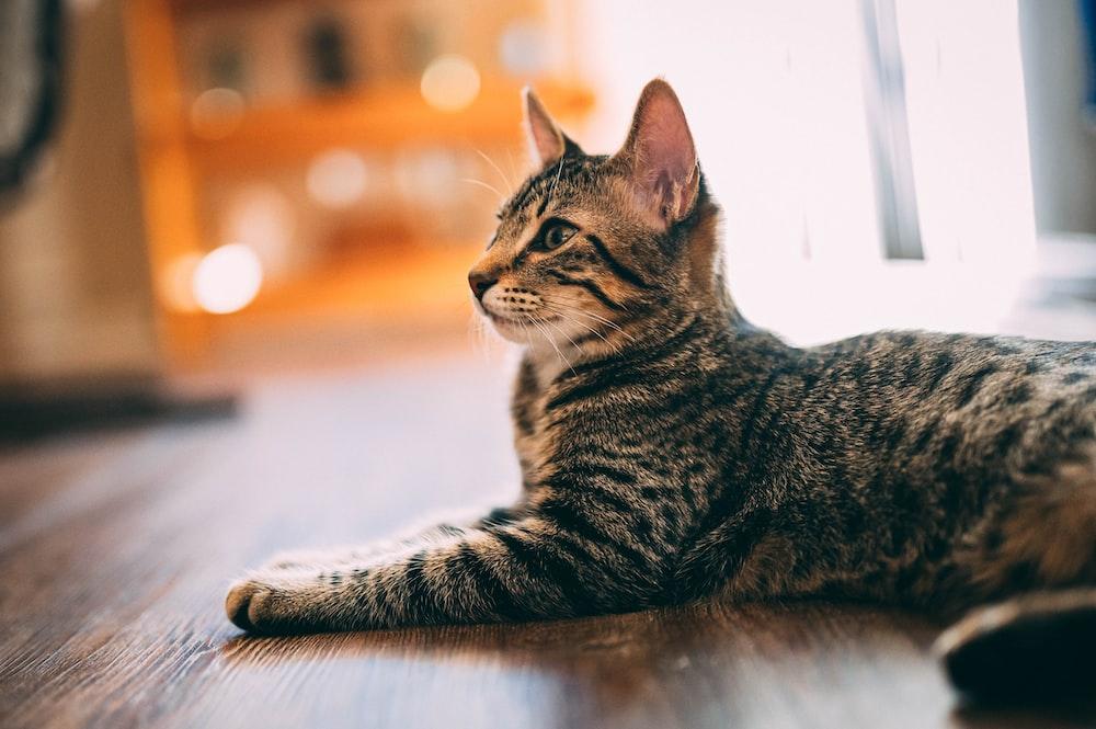 brown tabby cat lying on floor