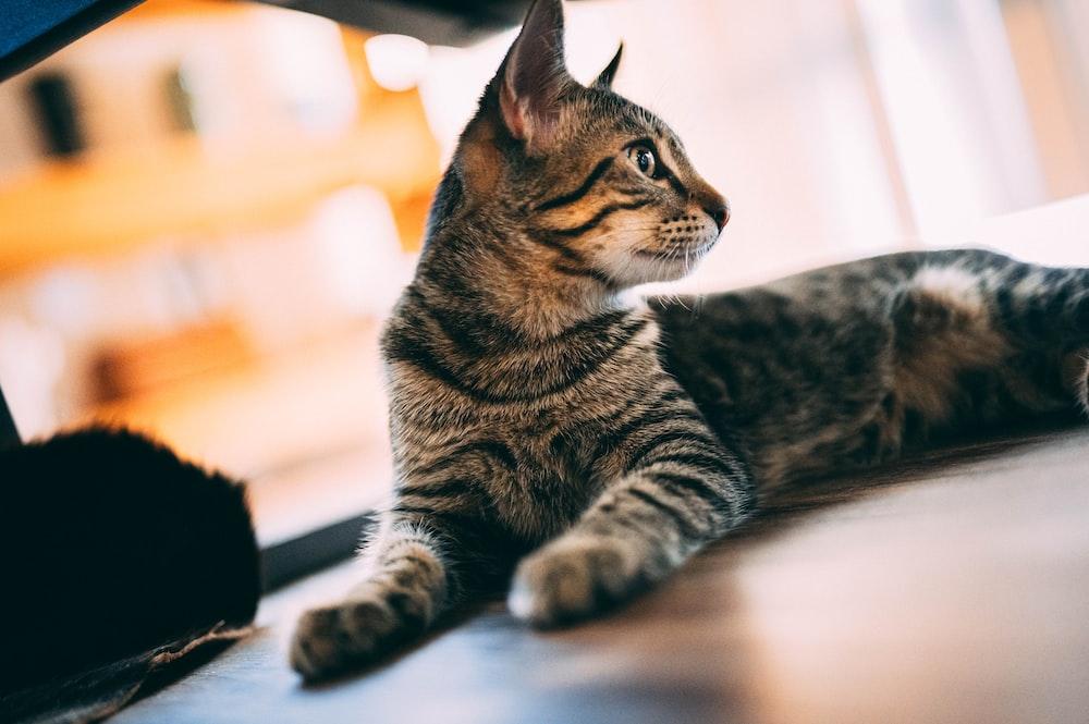 brown tabby cat on white floor