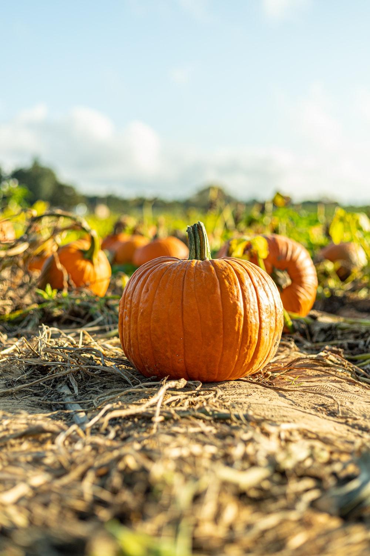 pumpkin on brown dried grass during daytime