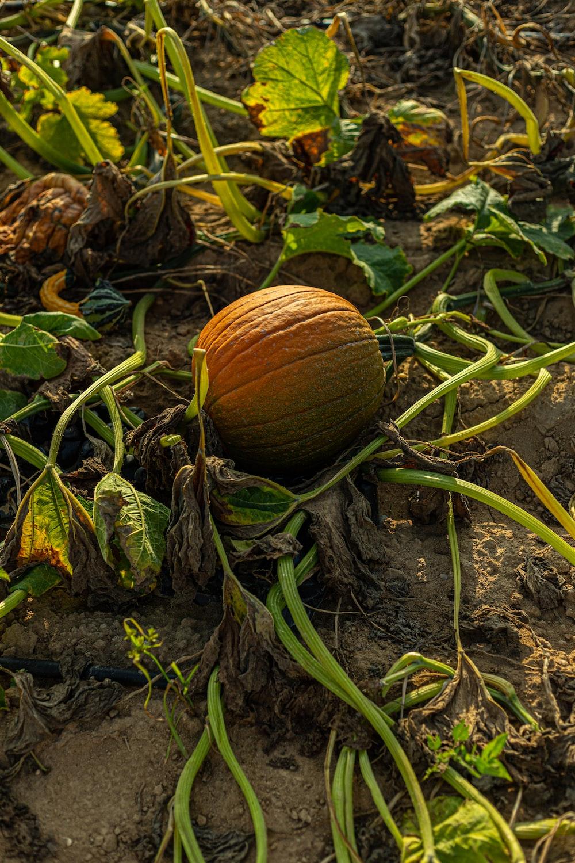 brown round fruit on ground
