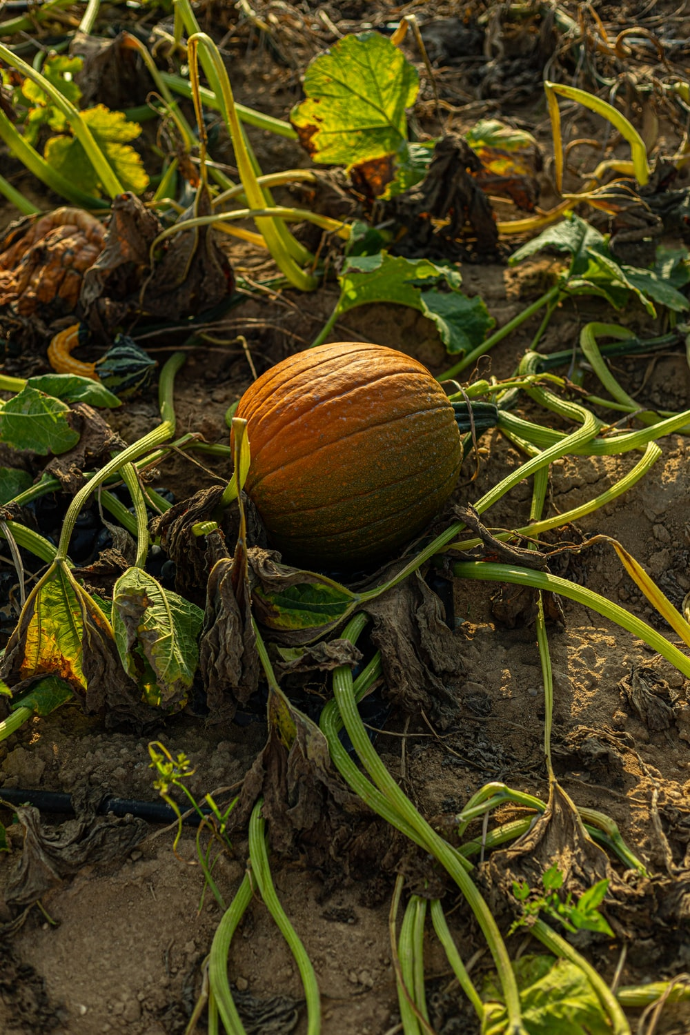 brown round fruit on ground
