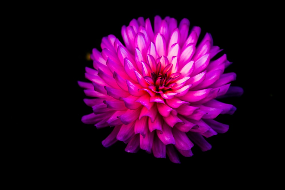 purple and white flower in black background