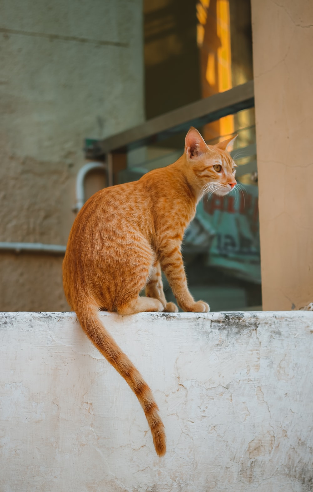 orange tabby cat on white concrete wall