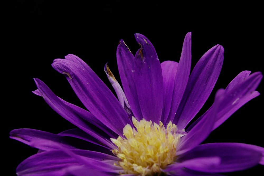 purple and yellow flower in black background