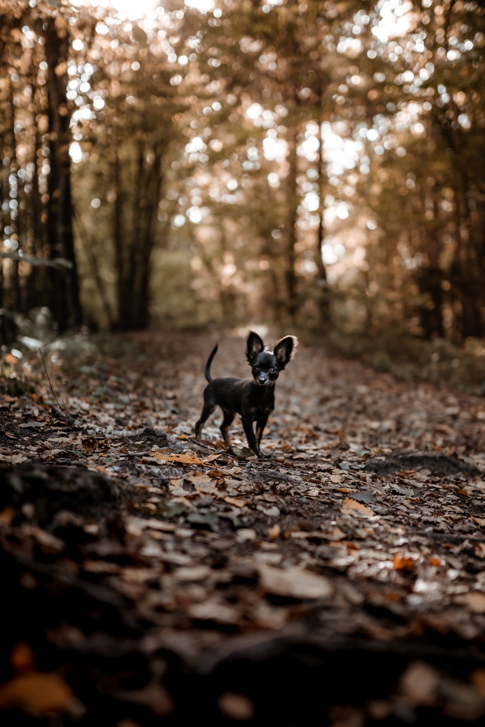 black short coat small dog walking on dried leaves on ground during daytime