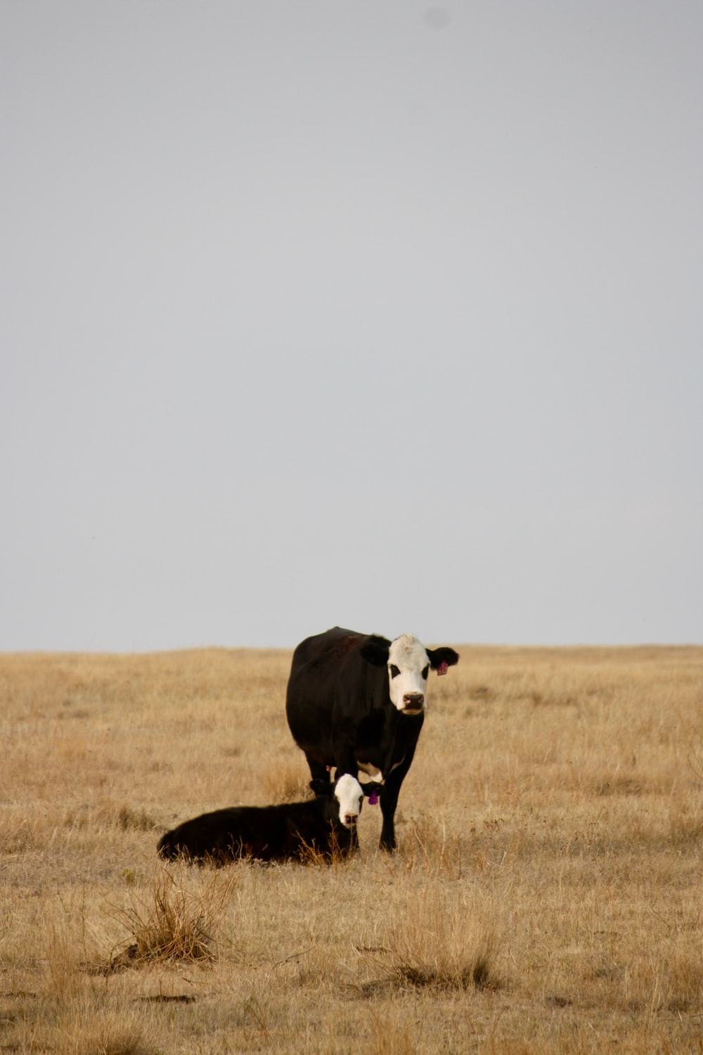 black and white cow on brown grass field during daytime