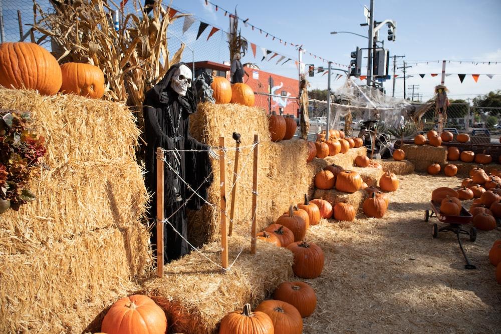 orange pumpkins on brown hays