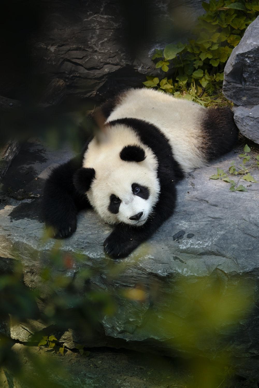 panda on water during daytime