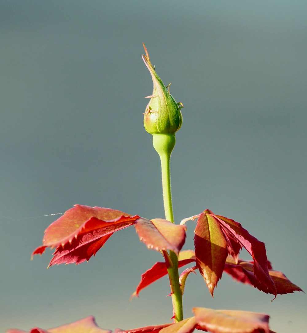 red and green flower bud