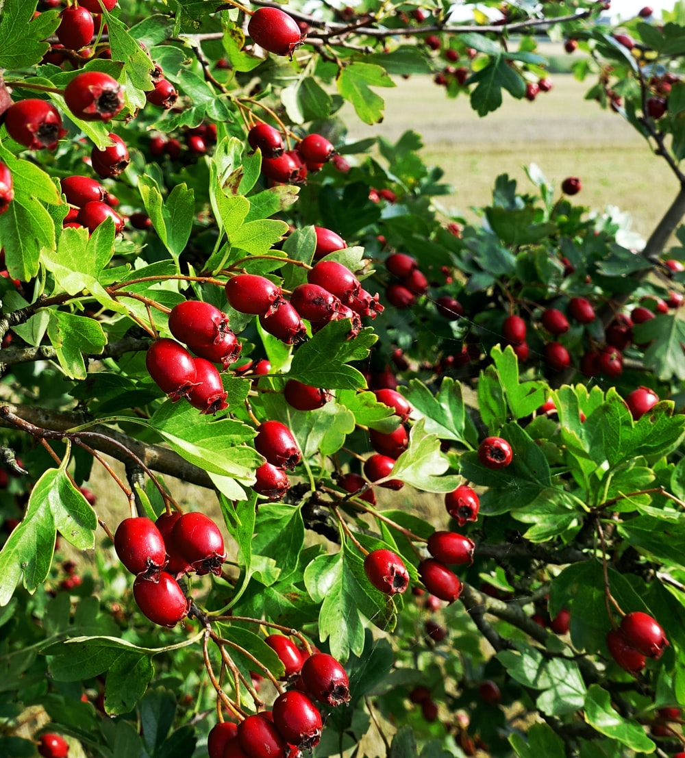 red round fruits on green grass during daytime