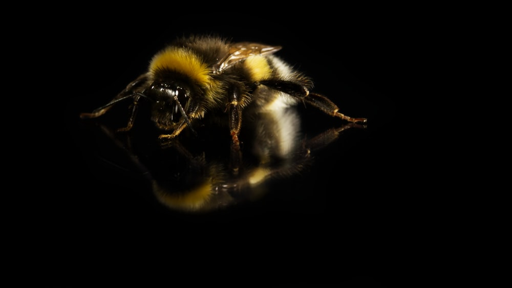 black and yellow bee in black background