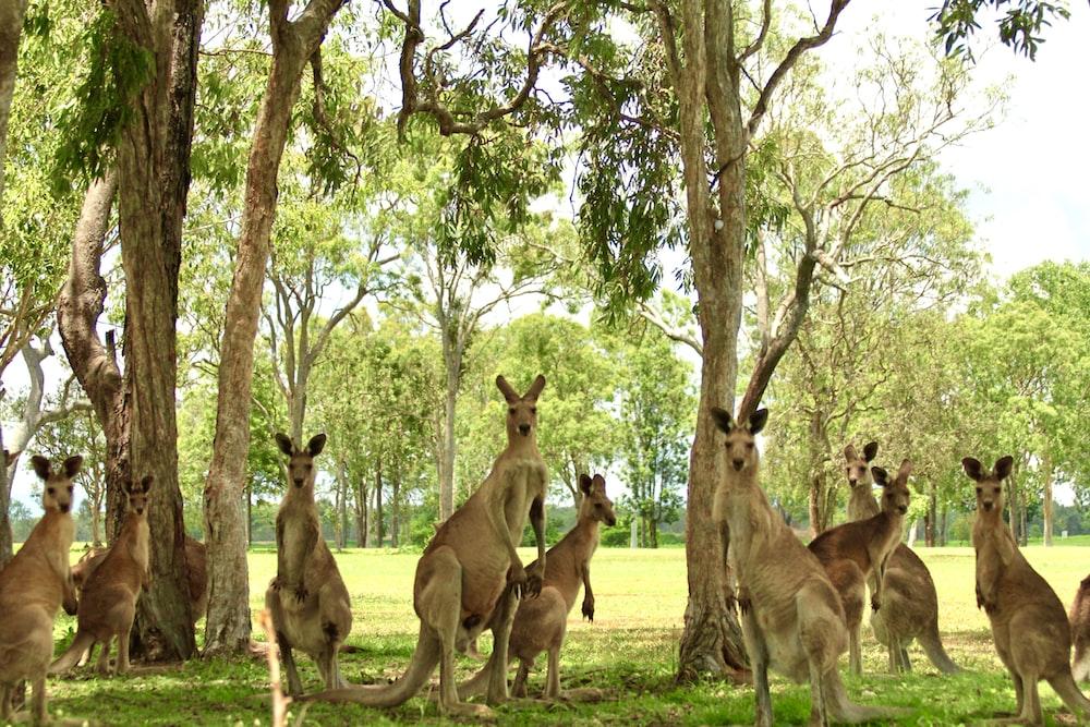 brown kangaroo sitting on green grass field during daytime