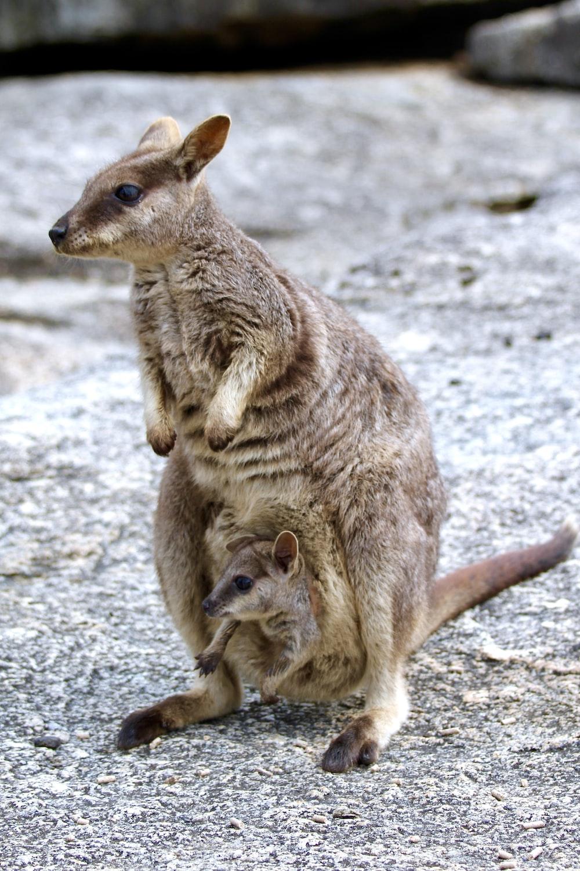 brown kangaroo on gray sand during daytime