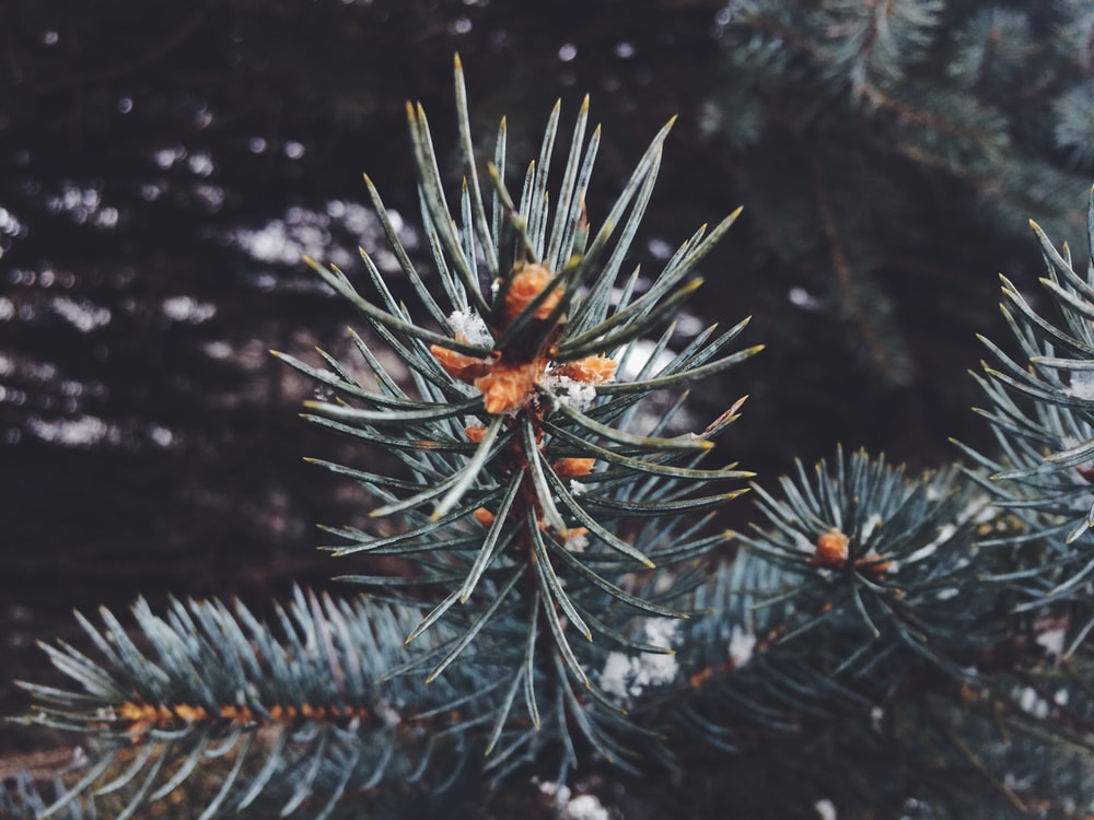brown spider on green pine tree