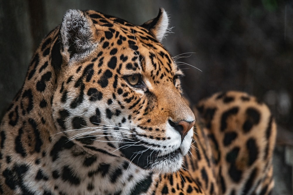 brown and black leopard in close up photography