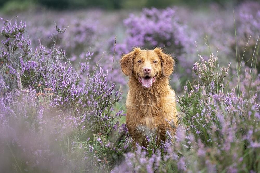 brown long coated dog on purple flower field during daytime