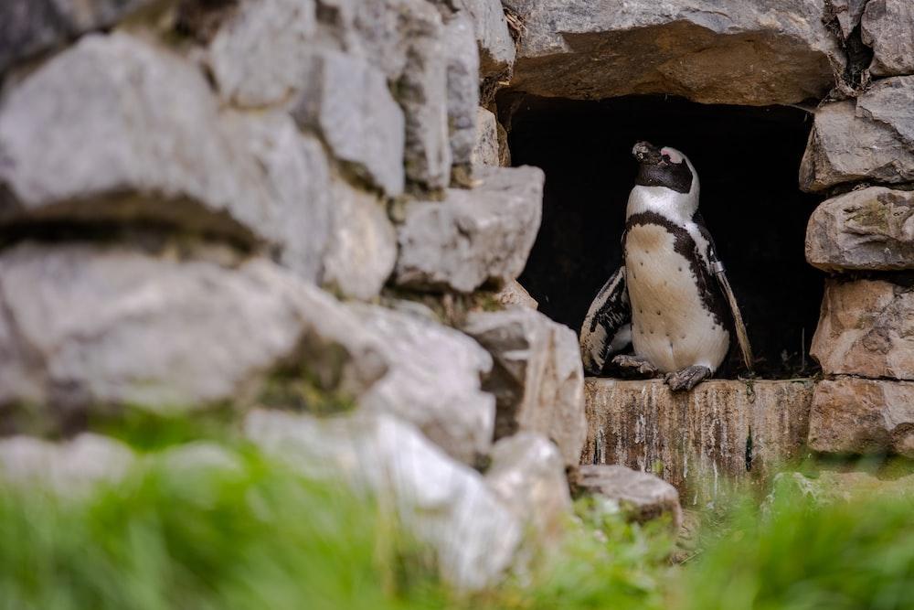 black and white penguin on gray rock