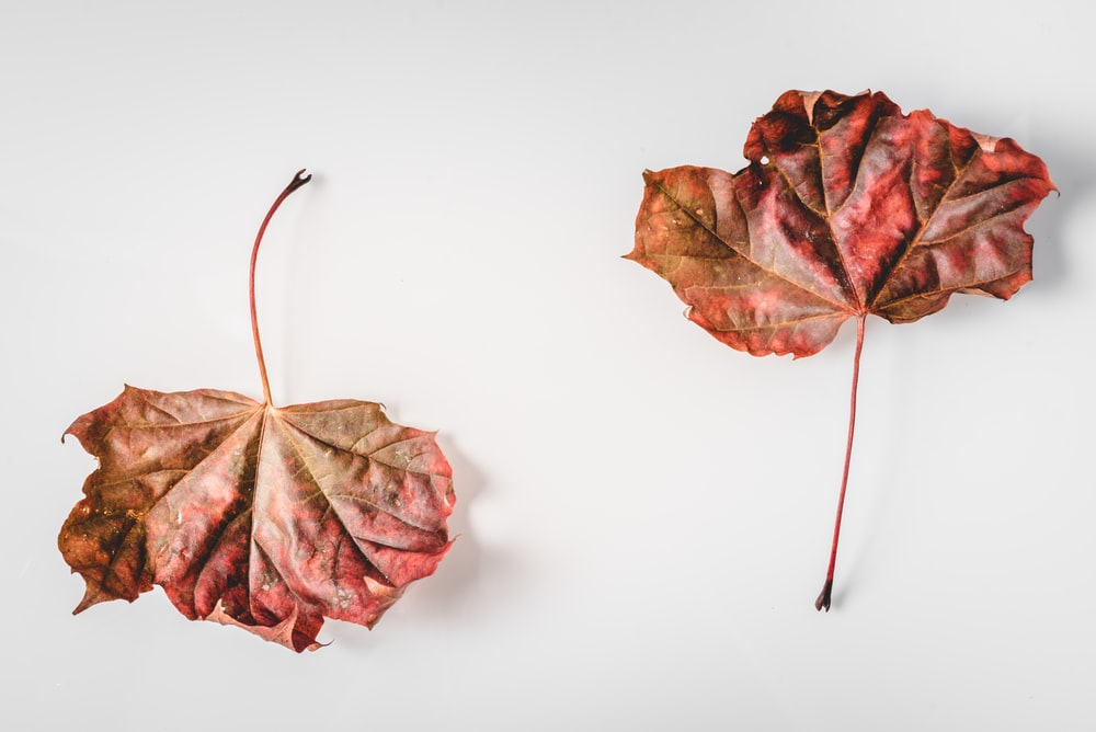 red and brown leaves on white surface
