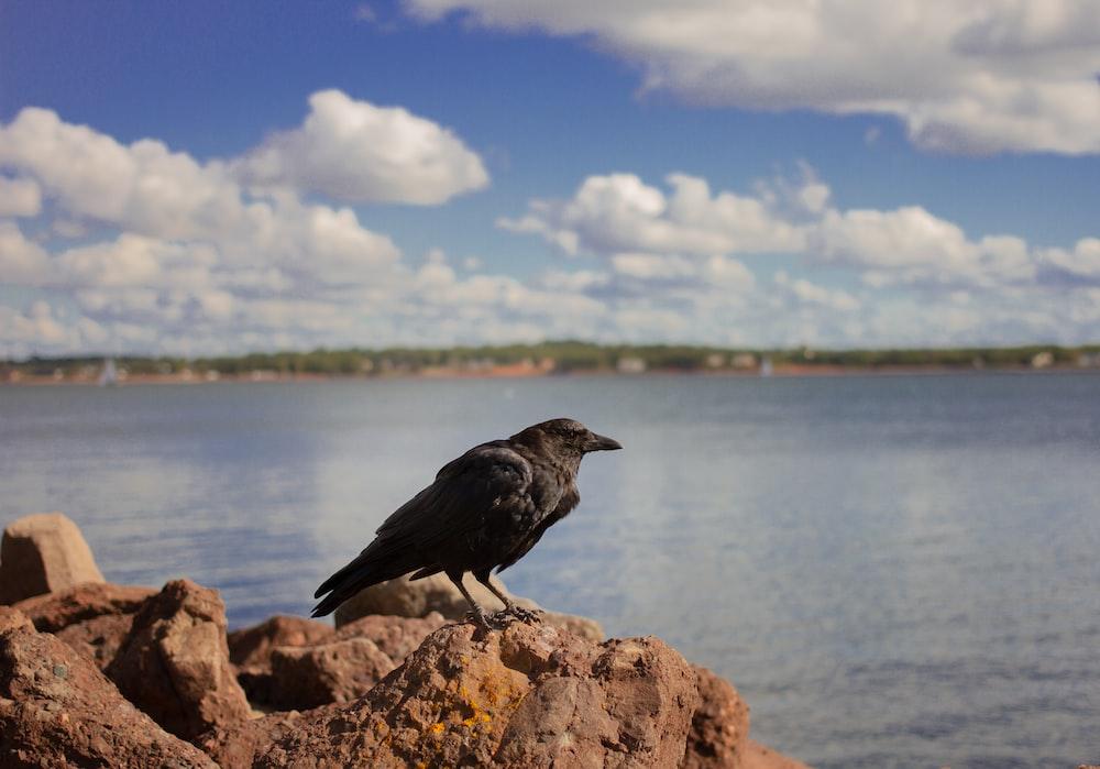 black bird on brown rock near body of water during daytime