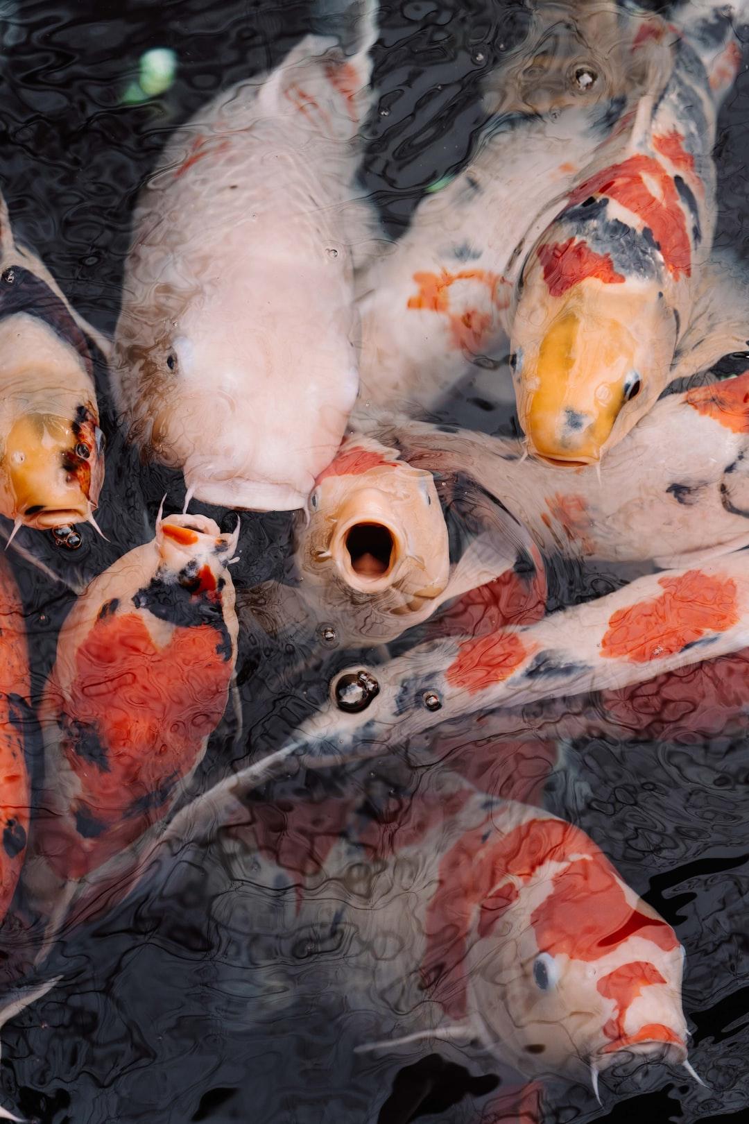 Kenali Ikan Koi Asli Berkualitas Dengan Ciri Berikut