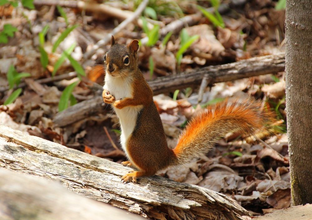 brown and white squirrel on brown wood