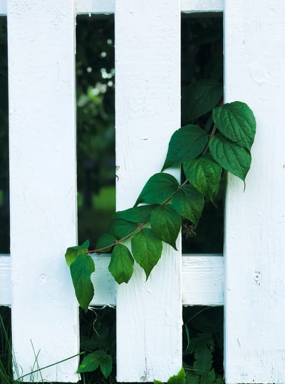 green leaves on white wooden fence