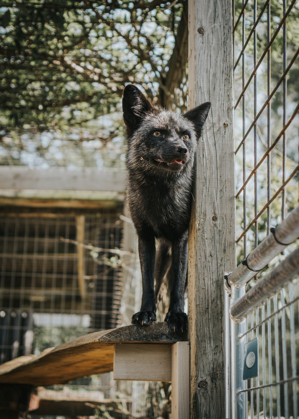 black and brown fox on brown wooden fence during daytime