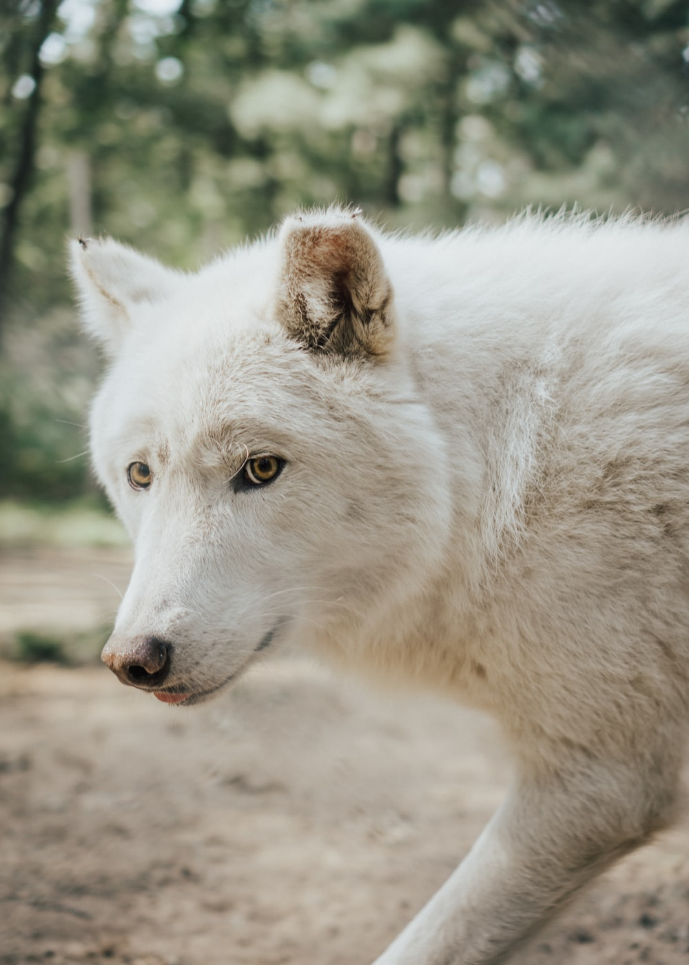 white wolf on brown dirt during daytime