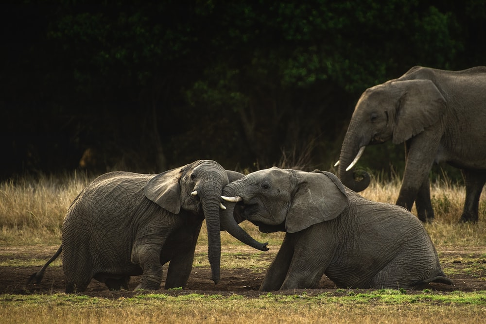 gray elephant walking on brown grass field during daytime