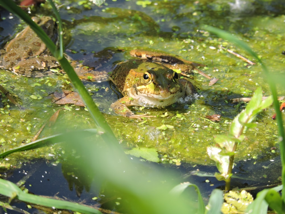 brown and black frog on green water