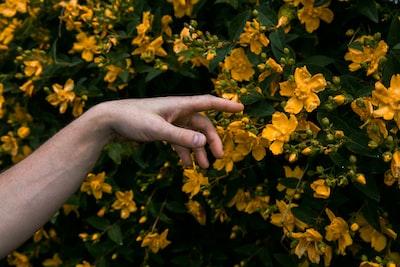 person holding yellow flower petals da vinci zoom background