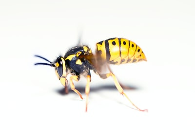 yellow and black bee on white surface insect zoom background