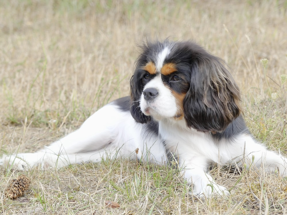 white and brown long coated dog lying on green grass during daytime