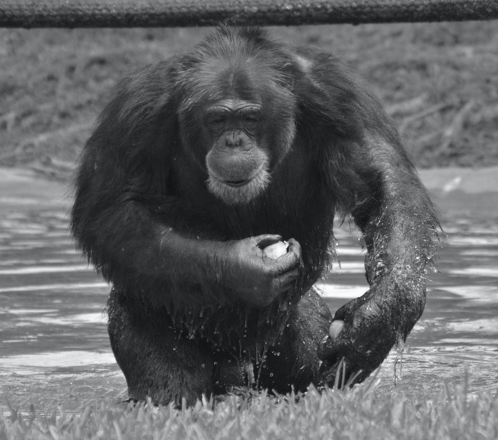 black gorilla on gray scale photography