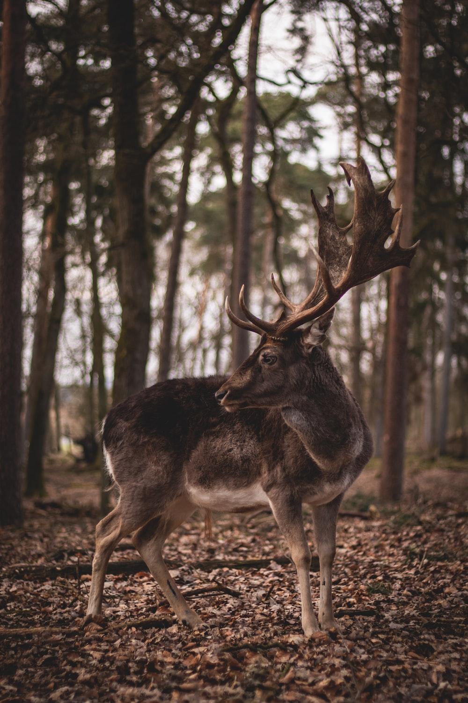 brown deer standing on brown ground during daytime