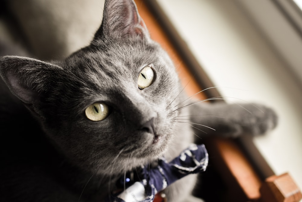 black cat with blue and white ribbon
