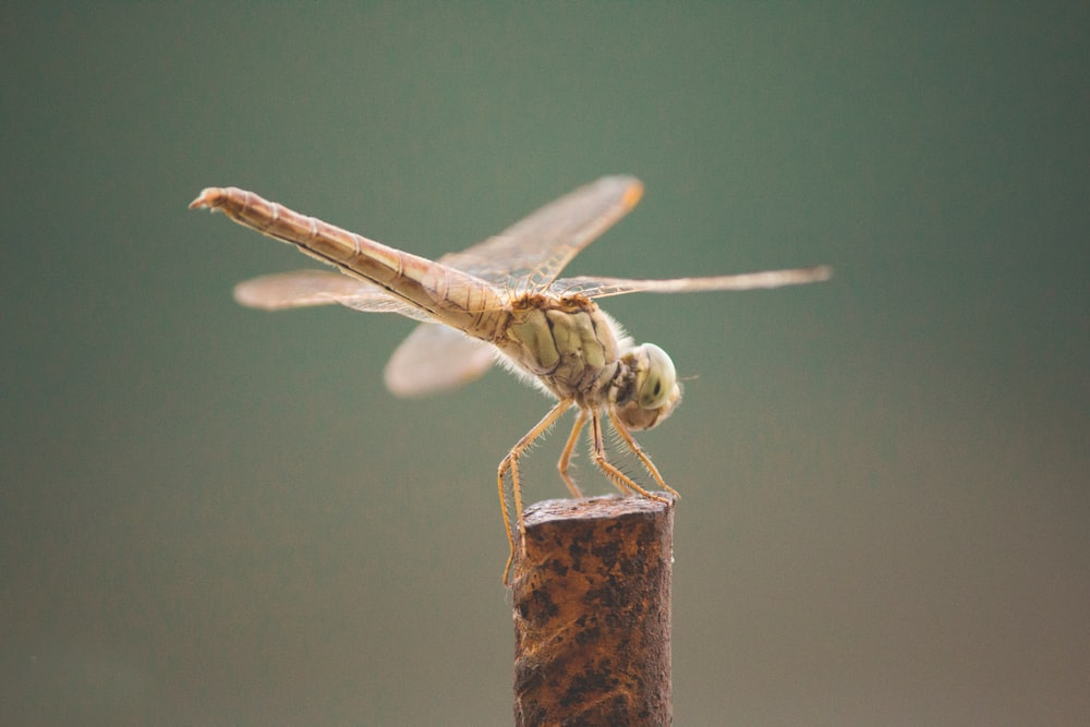 brown and black dragonfly perched on brown wooden stick in close up photography during daytime