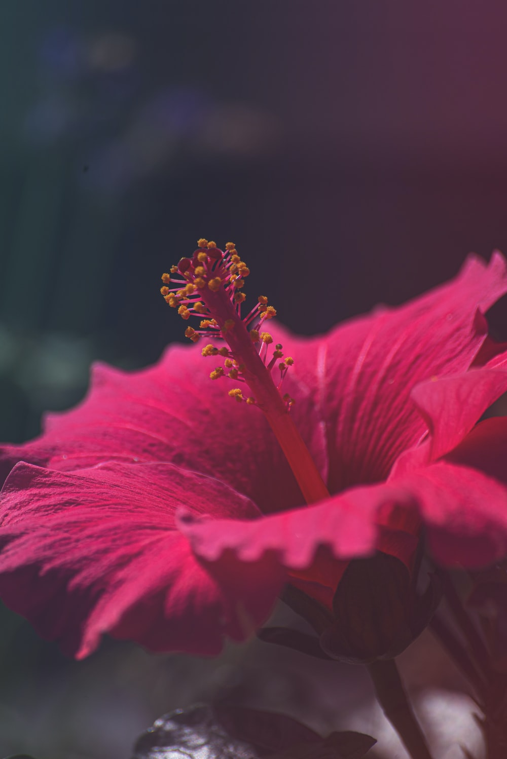 red hibiscus in bloom during daytime