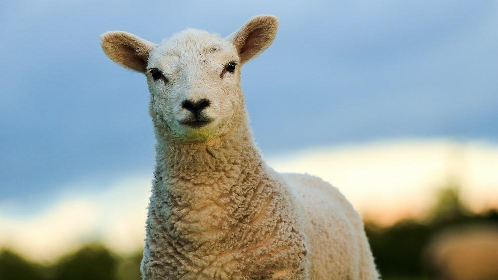 white sheep under blue sky during daytime