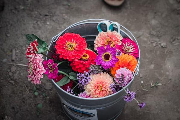 colorful Delilah flower