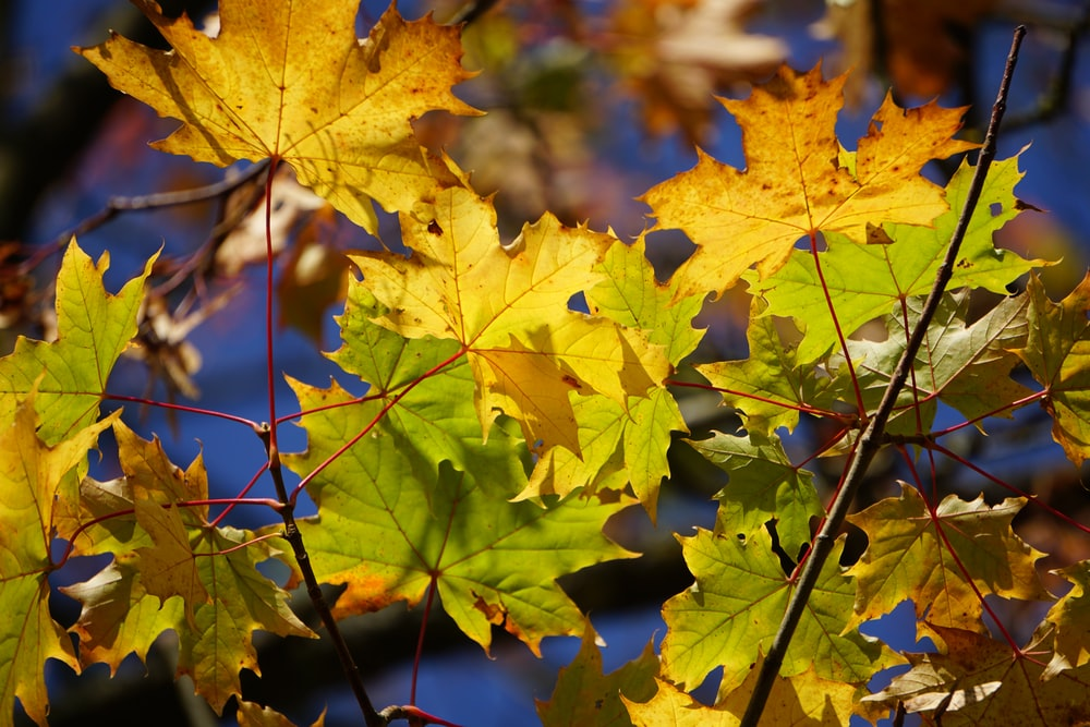 yellow maple leaf on green grass