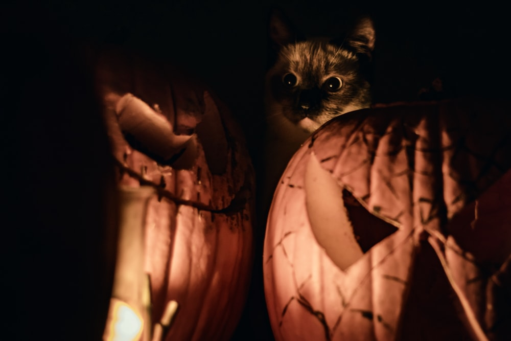 brown tabby cat on jack o lantern