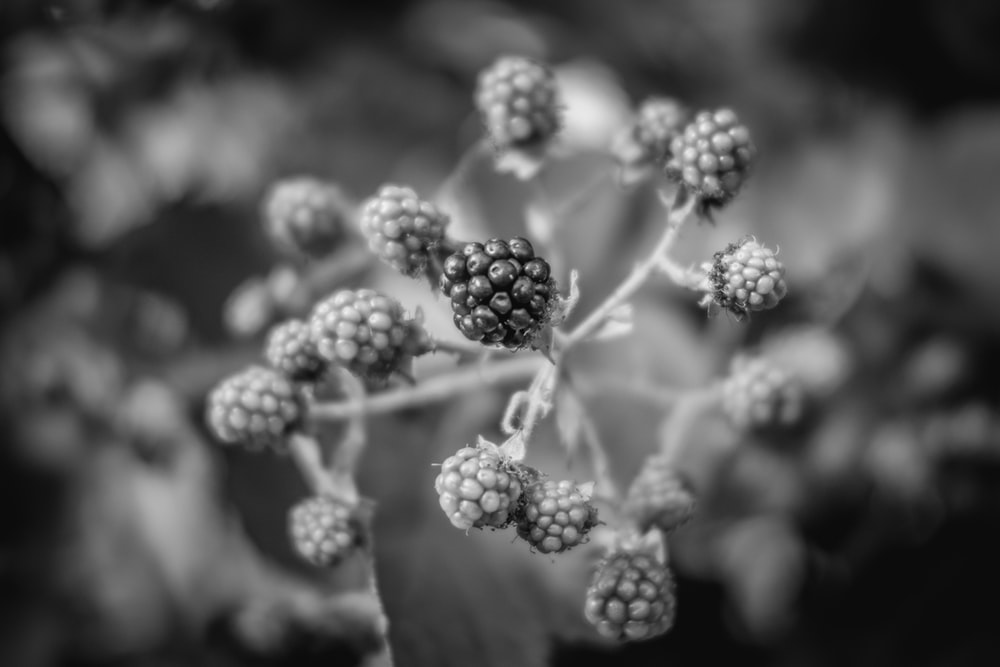 grayscale photo of flower buds