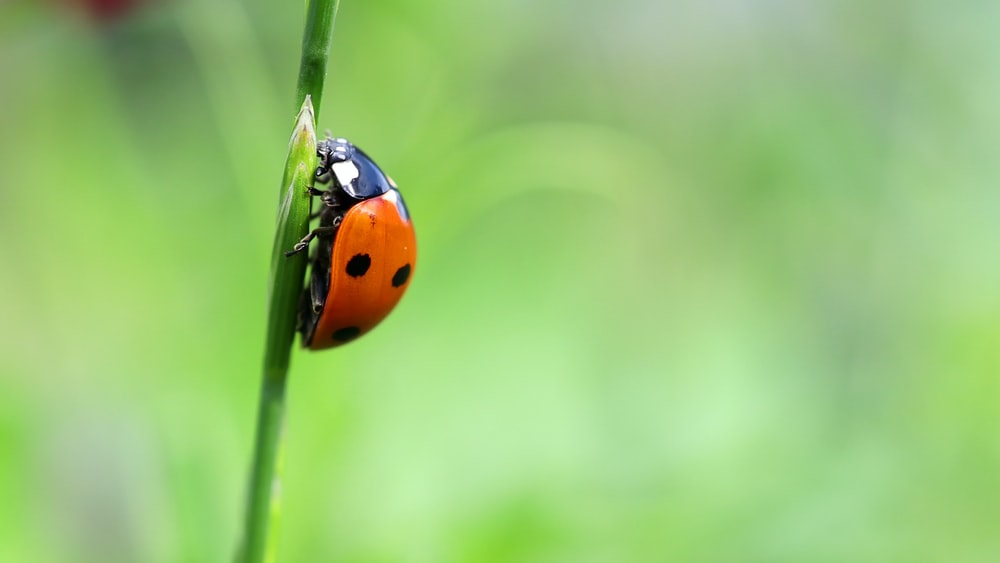 red and black ladybug on green stem in tilt shift lens