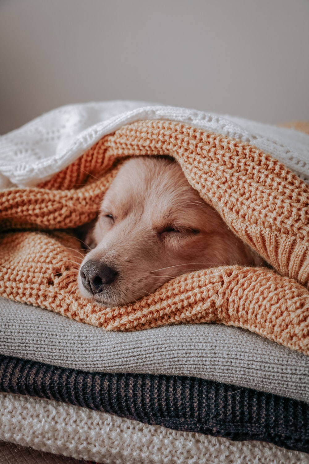 brown short coated dog covered with orange and white blanket