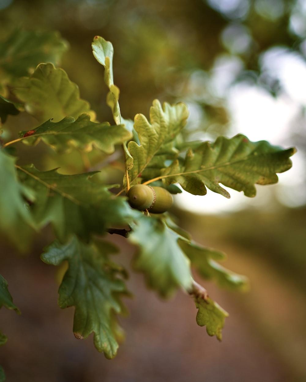 green fruit on green leaves